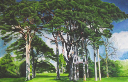 Scotch Pines. Muckross Gardens. Couny Kerry.